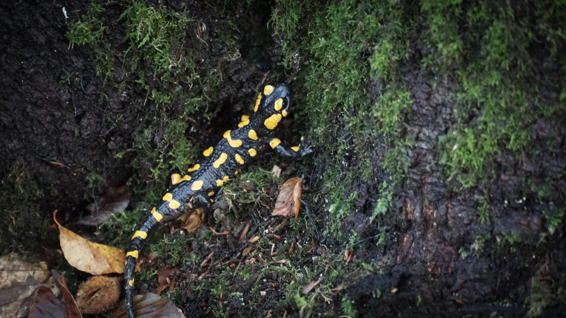 Salamandra plamista w Beskidzie Niskim